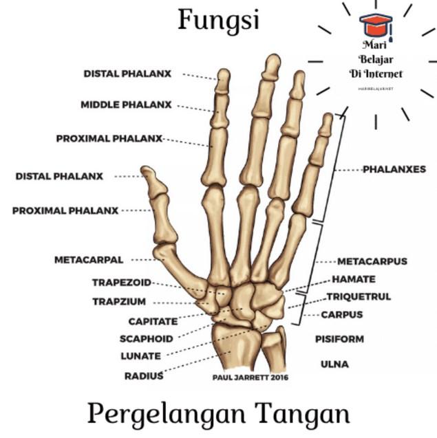 Fungsi-Tulang-Pergelangan-Tangan-Untuk-Menghubungkan-Jari-jari
